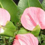 Цветы в доме: антуриум