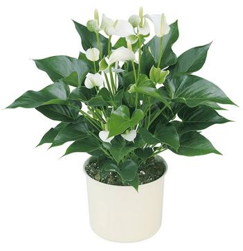 цветок антуриум как растить